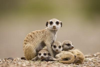 Meerkat with Pups by Paul Souders