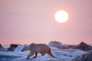 Midnight Sun and Polar Bear, Hudson Bay, Nunavut, Canada by Paul Souders