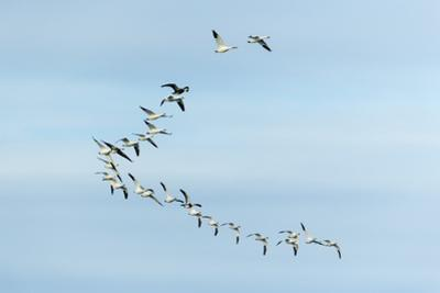 Migrating Flock of Snow Geese, Repulse Bay, Nanavut, Canada by Paul Souders