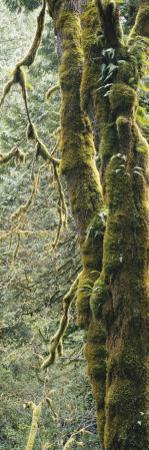 Mossy Tree Trunk, Olympic National Forest, Olympic National Park, Washington, USA