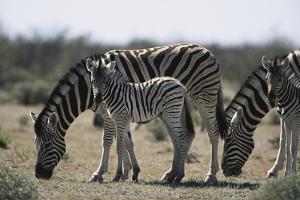 Namibia, Etosha National Park, Plain Zebra, Equus Burchellii, Grazing by Paul Souders