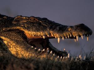 Nile Crocodile, Chobe River at Sunset, Chobe National Park, Botswana by Paul Souders