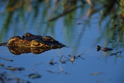 Nile Crocodile in the Khwai River by Paul Souders