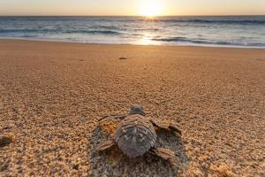Olive Ridley Turtle Hatchling, Baja, Mexico by Paul Souders