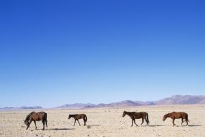 Pack of Wild Horses in Namib Desert by Paul Souders