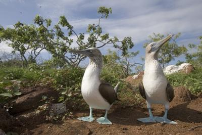 Pair of Blue-Footed Boobies by Paul Souders