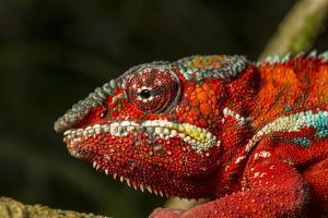 Panther Chameleon, Madagasdar by Paul Souders