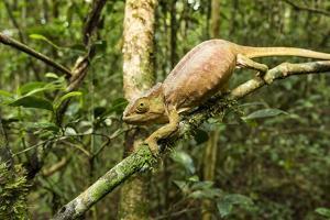 Parson's Chameleon, Andasibe-Mantadia National Park, Madagascar by Paul Souders