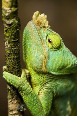Parsons Chameleon, Andasibe-Mantadia National Park, Madagascar by Paul Souders