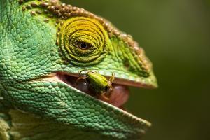 Parsons Chameleon Eats Grasshopper, Madagascar by Paul Souders