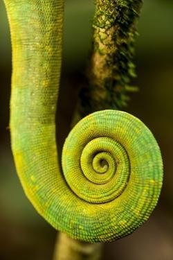 Parsons Chameleon Tail, Andasibe-Mantadia National Park, Madagascar by Paul Souders