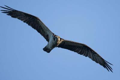 Peregrine Falcon, Acadia National Park, Maine