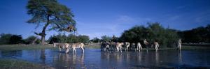 Plains Zebra Herd, Etosha National Park, Namibia by Paul Souders