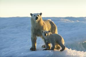 Polar Bear and Cub Standing on Sea Ice at Sunset Near Harbor Islands,Canada by Paul Souders