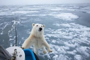 Polar Bear Leaning on Bowsprit on Ice by Paul Souders