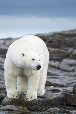 Polar Bear on Harbour Islands, Hudson Bay, Nunavut, Canada by Paul Souders