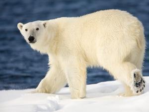Polar Bear on Snow Covered Iceberg at Spitsbergen by Paul Souders