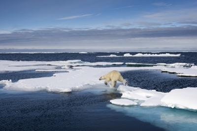 Polar Bear Running across Melting Sea Ice at Spitsbergen by Paul Souders