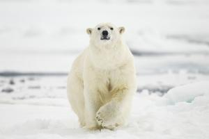 Polar Bear, Svalbard, Norway by Paul Souders