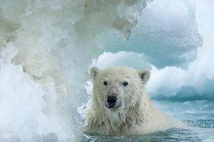 Polar Bear Swimming Through Melting Sea Ice Near Harbor Islands,Canada by Paul Souders