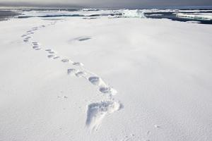 Polar Bear Tracks in Fresh Snow at Spitsbergen Island by Paul Souders