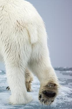 Polar Bear Walking on Pack Ice by Paul Souders