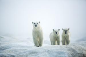 Polar Bears in Fog, Hudson Bay, Nunavut, Canada by Paul Souders
