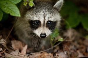 Raccoon at Assateague Island National Seashore in Maryland by Paul Souders