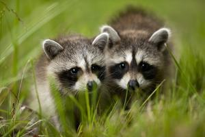 Raccoons at Assateague Island National Seashore in Maryland by Paul Souders