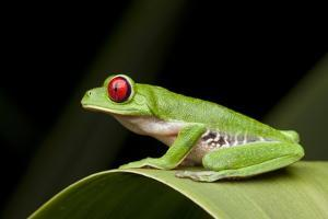 Red Eyed Tree Frog, Costa Rica by Paul Souders