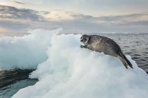 Ringed Seal Pup on Iceberg, Nunavut Territory, Canada by Paul Souders