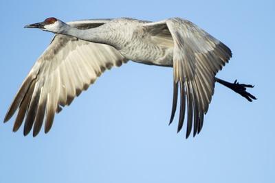 Sandhill Crane in Flight, Bosque Del Apache, New Mexico by Paul Souders