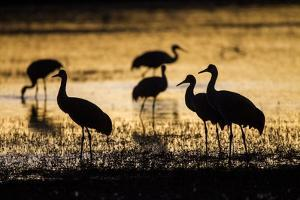 Sandhill Cranes, Bosque Del Apache, New Mexico by Paul Souders