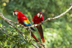 Scarlet Macaws, Costa Rica by Paul Souders