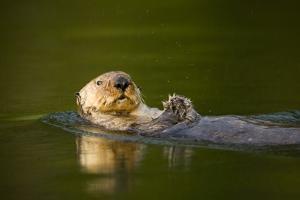 Sea Otter in Afognak Bay at Kodiak Island by Paul Souders