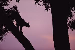 Silhouette of Leopard in Tree by Paul Souders