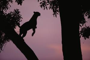 Silhouette of Leopard Leaping Through Trees by Paul Souders