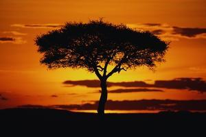 Silhouetted Camelthorn Tree at Sunset by Paul Souders