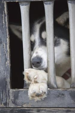 Sled Dog Resting in Kennel before 2005 Iditarod Race by Paul Souders