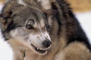 Sled Dog Snarling by Paul Souders