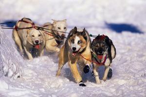 Sled Dog Team by Paul Souders