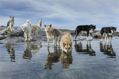 Sled Dogs, Nunavut, Canada by Paul Souders