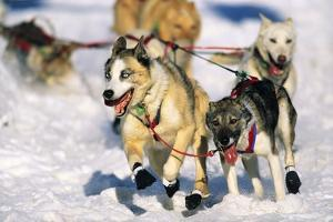 Sled Dogs Racing Through Snow by Paul Souders