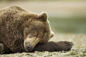Sleeping Brown Bear, Katmai National Park, Alaska by Paul Souders