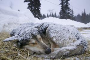 Sleeping, Snow-Covered, Iditarod Sled Dog by Paul Souders