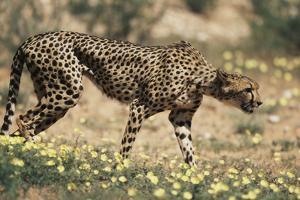 South Africa, Kalahari Gemsbok National Park, Cheetah Walks in Field of Flowers by Paul Souders
