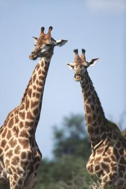 South Africa, Kruger National Park, Giraffes(Giraffa Camelopardalis by Paul Souders