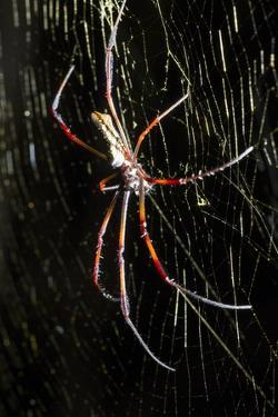 Spider, Kirindy Forest Reserve, Madagascar by Paul Souders