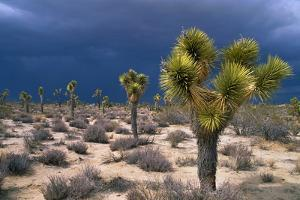 Storm Clouds over Joshua Trees by Paul Souders
