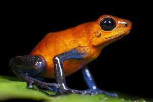 Strawberry Poison Dart Frog in Costa Rica by Paul Souders